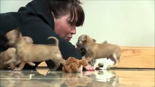 Chihuahua Puppies 9th April 2016