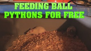 Setting Up Rat Breeding!  Feed your snakes for free!