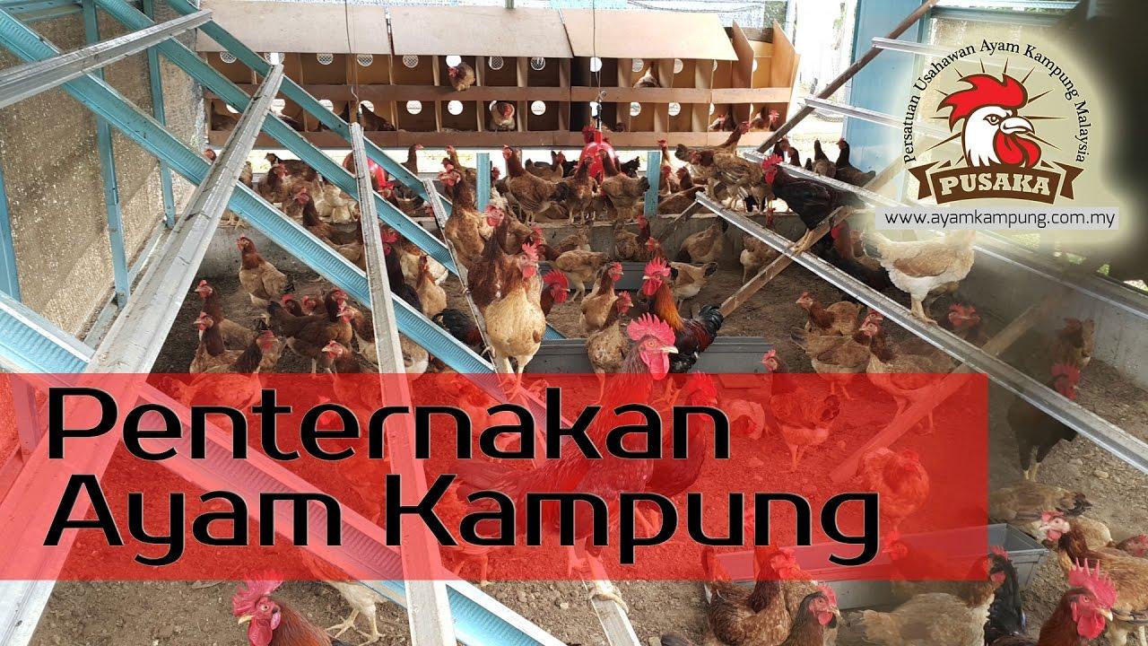 Persatuan Ayam Kampung Malaysia - Google+ d26a11a51e9c