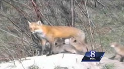 Wild Moments: Are foxes dangerous to humans?