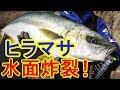 秋のヒラマサ連発!ロックショアゲーム In上五島
