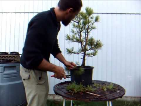 bonsai demo wiring a white pine youtube rh youtube com