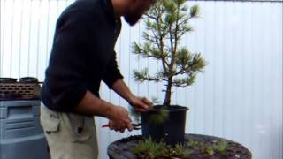 Bonsai Demo, Wiring a White Pine