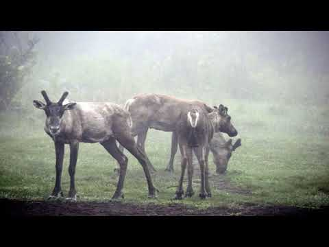Ontario moving endangered caribou herd off wolf laden island