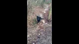 Woodlands Pet Care: - Harvey The Black Labrador Enjoying A Wet Walking In The Woods