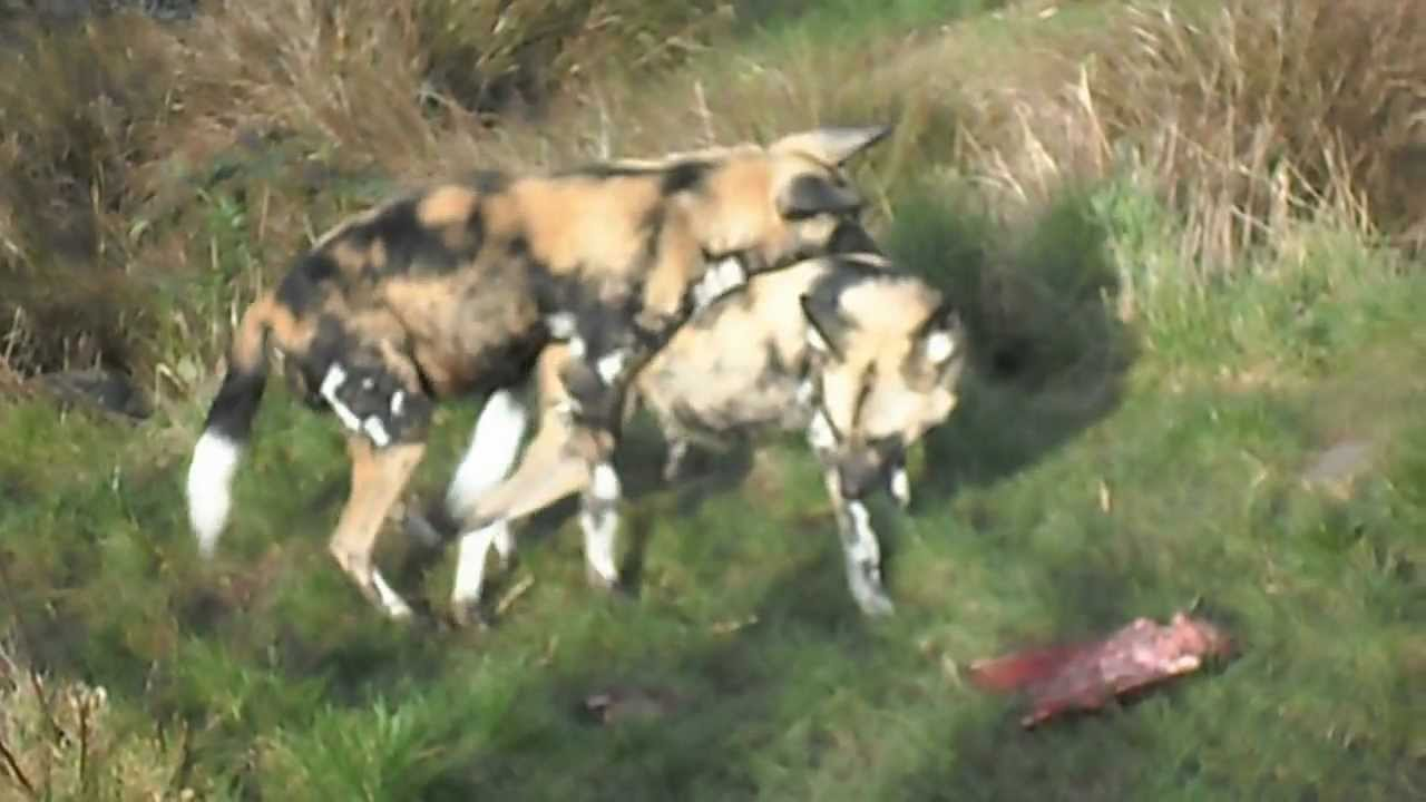 African Wild Hunting Dogs - YouTube