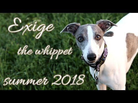 Exige the Whippet - Summer 2018