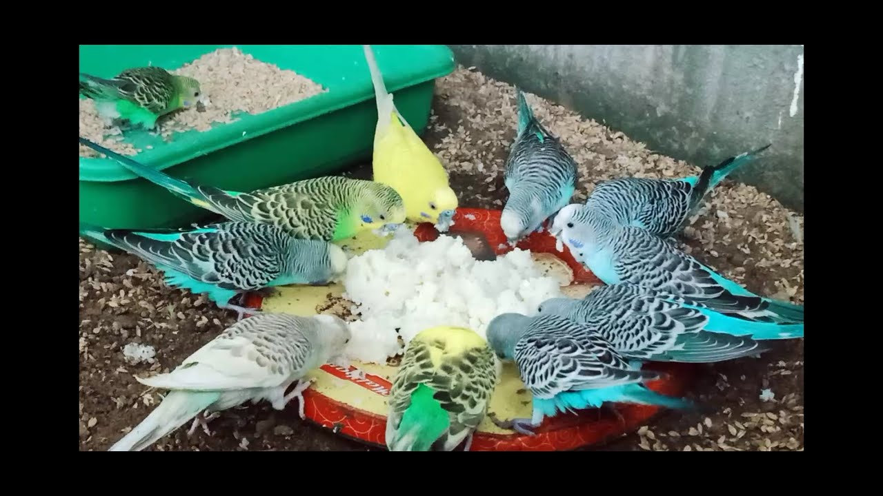 budgies / love bird foods