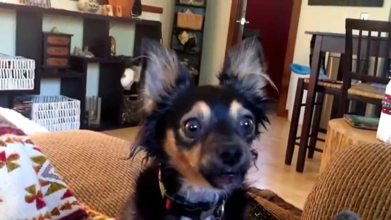 Kenyon The Chihuahua Howls Like A Wolf Youtube Cihuahua