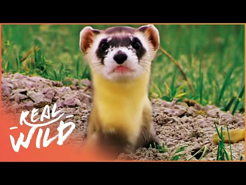 The Most Endangered Animal In The World | Prairie Bandit | Real Wild