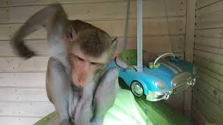 Голопопый обезьян (яванская макака Фёдор)