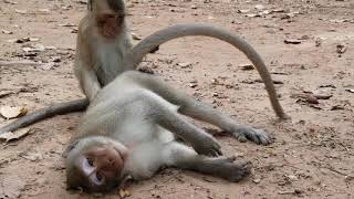 Monkeys Reproduction & Force To Abuse Action   Combined Monkey Having Sex Scenes