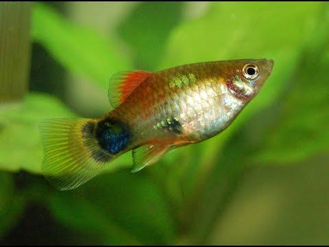 Species Profile # 33 : The Platy (Xiphophorus Maculatus)