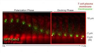 biosights: September 2, 2013 - Shrinking microtubules pull the centrosome into place
