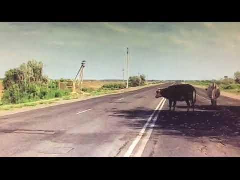 Под Астраханью водителю пришлось пересечь сплошные, чтобы объехать бесхозных тёлок
