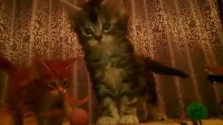 Котята мейн кун - 4 недели