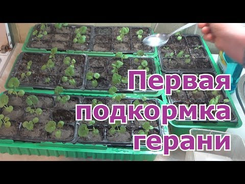 Чем подкормить рассаду пеларгонии (герани)
