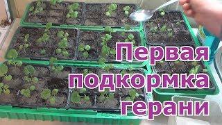Чем подкормить рассаду пеларгонии