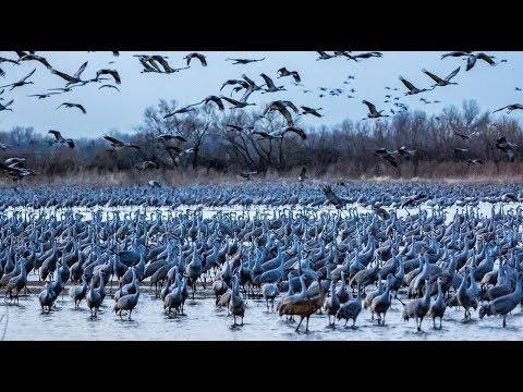 Experience the Sights and Sounds of the Sandhill Cranes