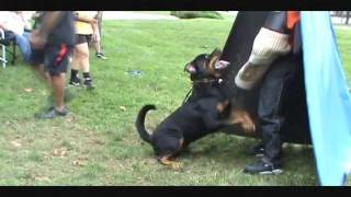 Kingston Martin Vom Bullenfeld - 30 Months (schutzhund Obedience & Protection Training)