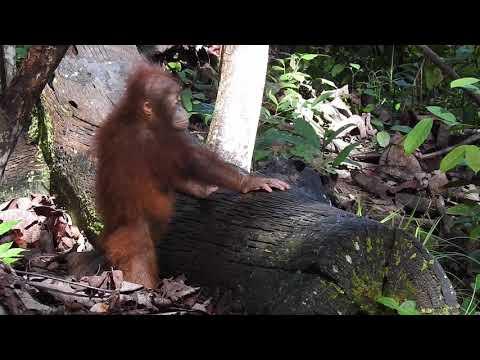 BABY BULLETIN: Baby Orangutan's First Day at Forest School!