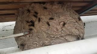 Frelon asiatiques dans une serre bien au chaud
