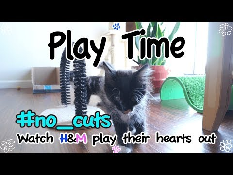 Maine Coon kittens play with each other - 메인쿤 새끼 고양이들 놀이