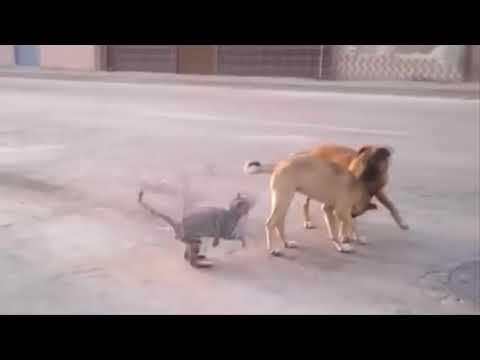 Köpek korkar kedi kavga ederse  KOMİK