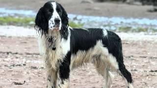 Все породы собак.Английский спрингер спаниель (English Springer Spaniel)