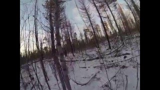 Охота на медведя с лайками зимой