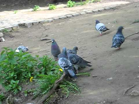 mating pigeons by the river Leine.
