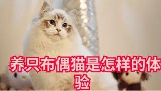 养只布偶猫是怎样的体验  优雅迷人小仙女  还会和狗狗一样等你回家