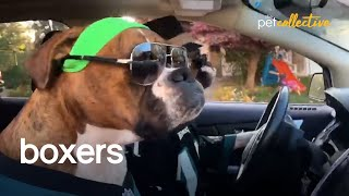 The Ultimate Collection of Boxer Dogs