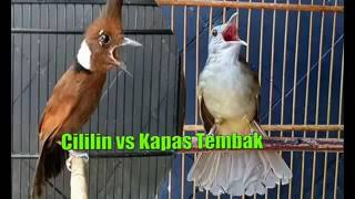 Download Masteran Duet Cililin Vs Kapas Tembak