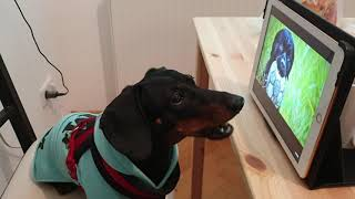 Funny video. Dachshund is singing.