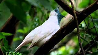 Pájaro campana - Los 3 Sudamericanos