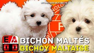 SUSCRIBETE! ➪ https://goo.gl/pgXrVe ✓   | El perro BICHON MALTES o ...