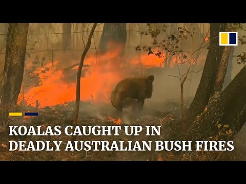 Hunter Quinn - WATCH: Koala Saved from Brush Fire In Australia