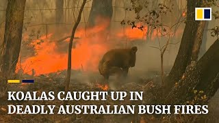 Koala rescued from deadly Australian bush fires