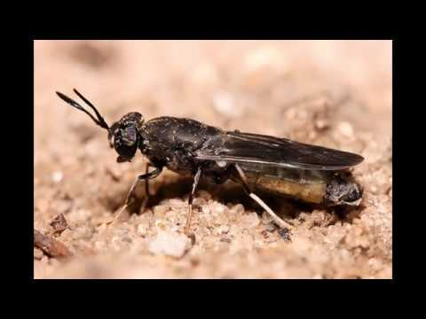 Life Cycle Of Black Soldier Fly