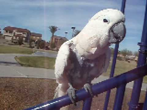 ~*~-moluccan-cockatoo-whistling-for-bird,-dog-and-mommy-kisses..-cute