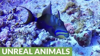 tiny-furious-reef-fish-chases-away-much-larger-queen-triggerfish