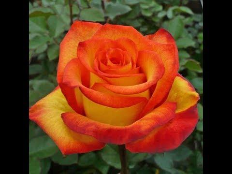 как выбирать саженцы роз, питомник роз Полины Козловой, rozarium.biz