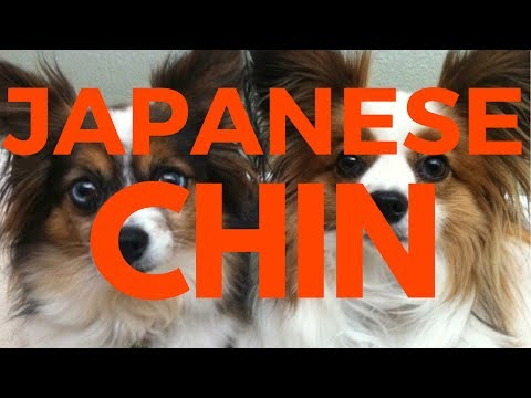 Why You Should Love  Japanese Chin?