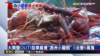 大閘蟹OUT!苗栗瘋養「澳洲小龍蝦」 5池養6萬隻