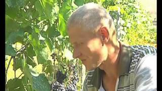 Липчанин на своем участке выращивает более 25 сортов винограда(25 сортов, более двух сотен кустов винограда. Липчанин Александр Шамаев спокойно может называть себя профес..., 2015-08-21T08:07:34.000Z)
