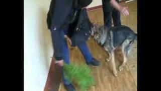K9 Deutscher Schäferhund  Am Spod Blanmontu