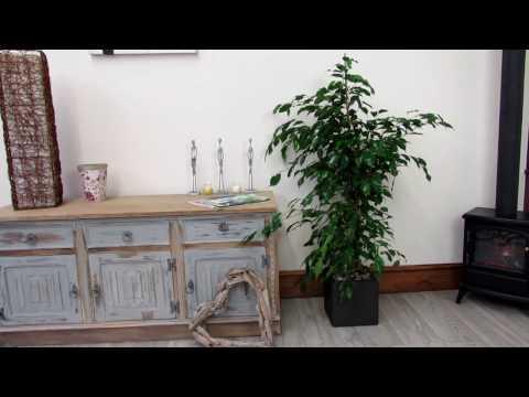 ficus-indoor-plant-weeping-fig-15m-complete
