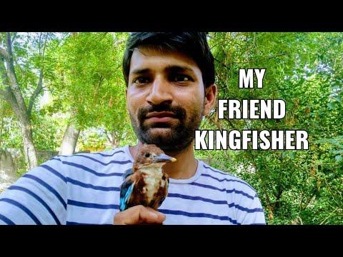 White Throated Kingfisher / श्वेतकंठ किलकिला