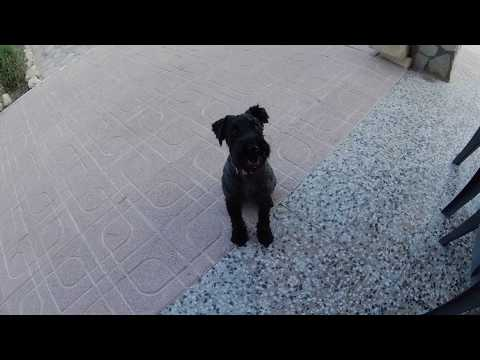 Kerry Blue Terrier Holiday